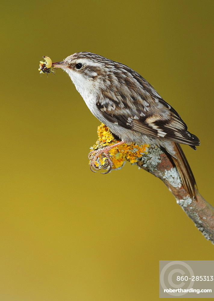 Short-toed Treecreeper feeding on a branch, Spain