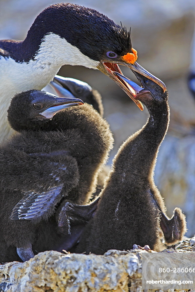 King Shag and chick feeding, Falkland Islands