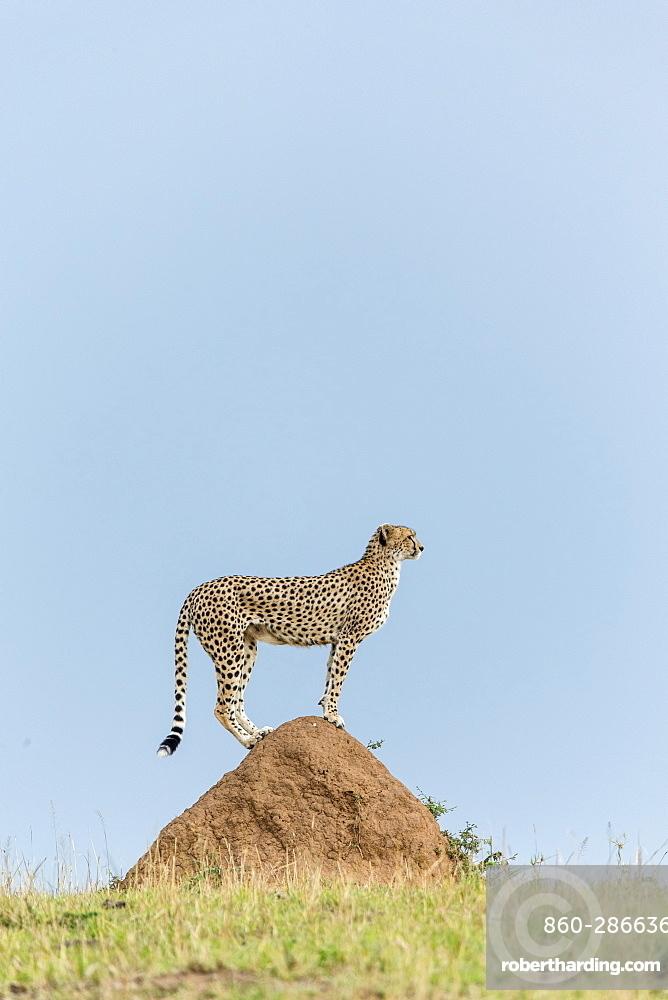 Kenya, Masai-Mara game reserve, cheetah (Acinonyx jubatus), female
