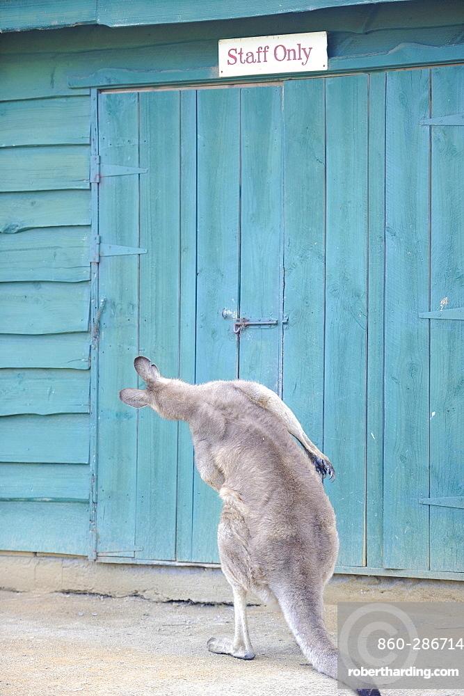Forester Kangaroo (Macropus giganteus tasmaniensis) front door, Tasmania, Australia