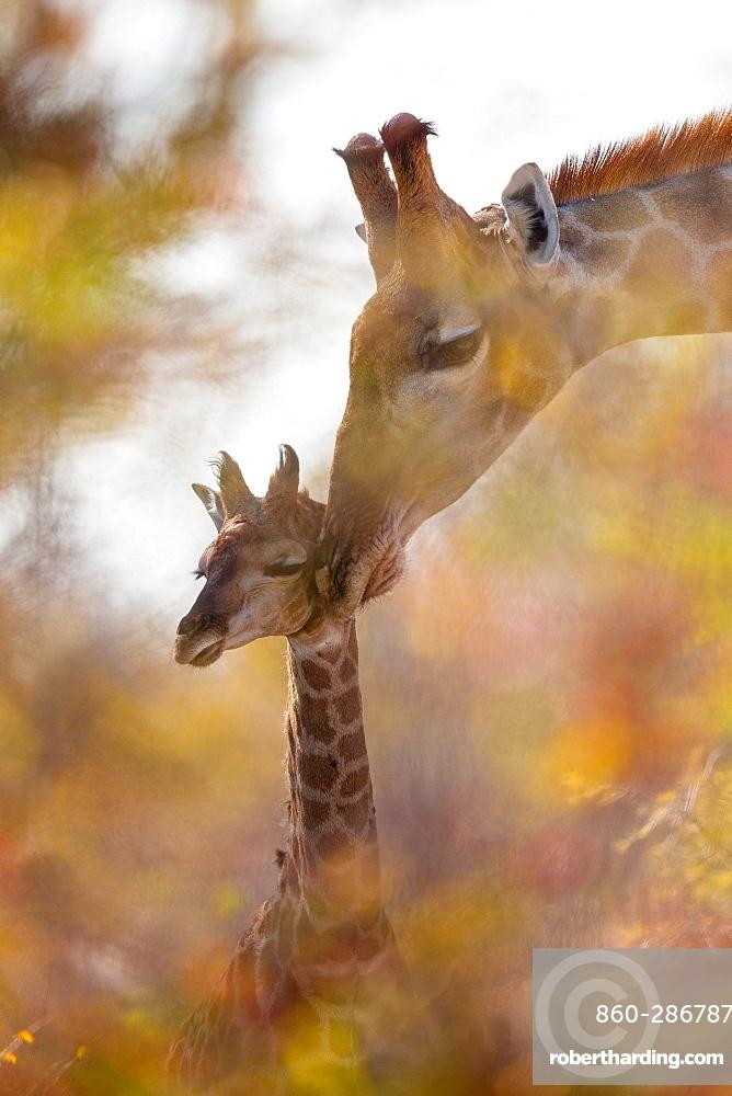 Giraffe (Giraffa camelopardalis) and baby giraffe, grooming, affection through the foliage of a tree, Namibia