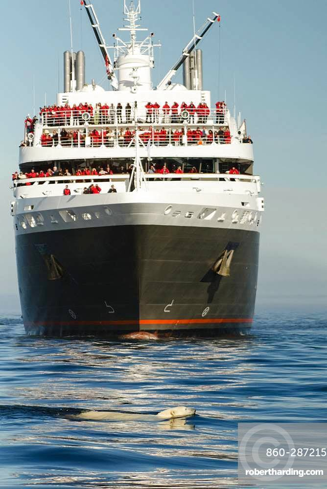 Polar bear (Ursus maritimus) swimming in front of a cruise ship, Canada