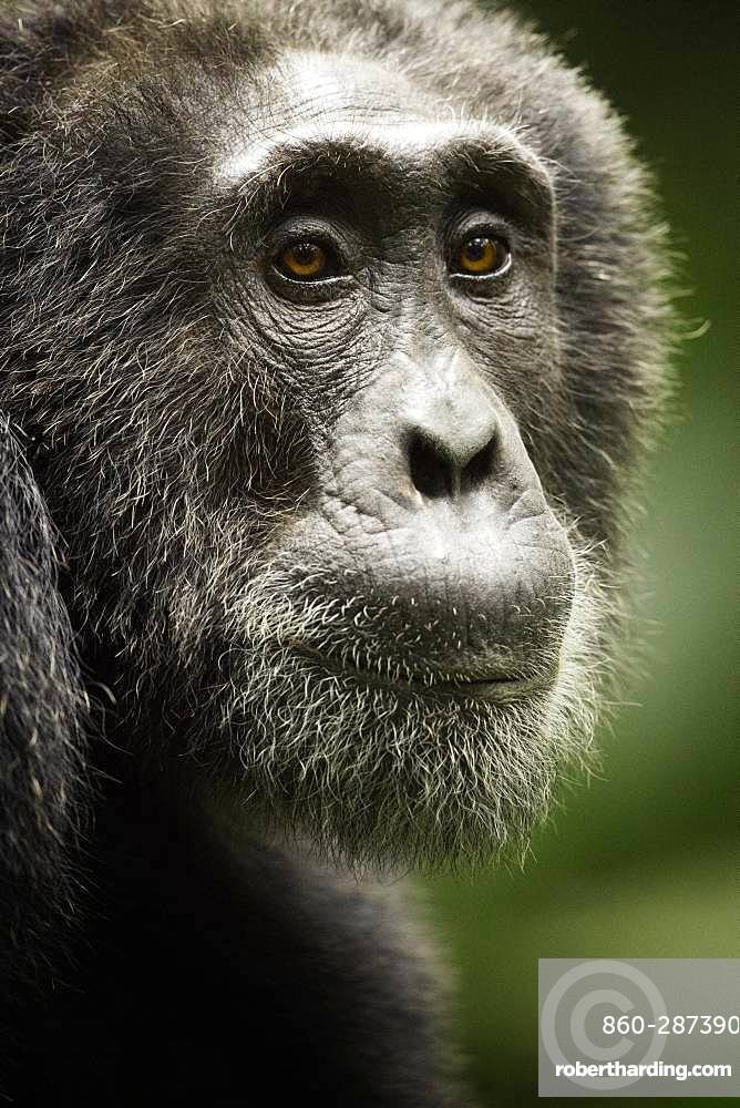 Chimpanzee (Pan troglodytes). An old male Chimp rests in the early morning sun in the rainforests of Uganda.