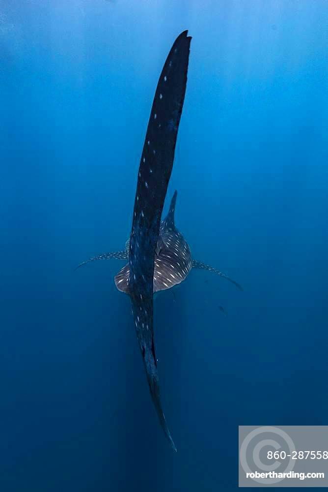 Behind the huge caudal fin of a whale shark (Rhincodon typus), Madagascar
