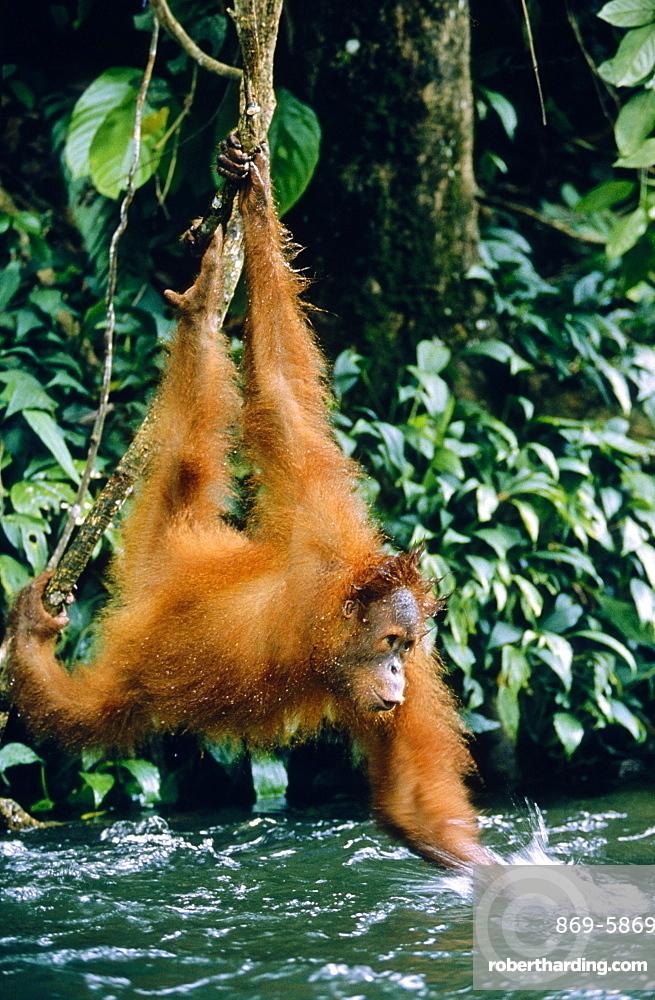 orang utan hanging over brook playing (Pongo pygmaeus)
