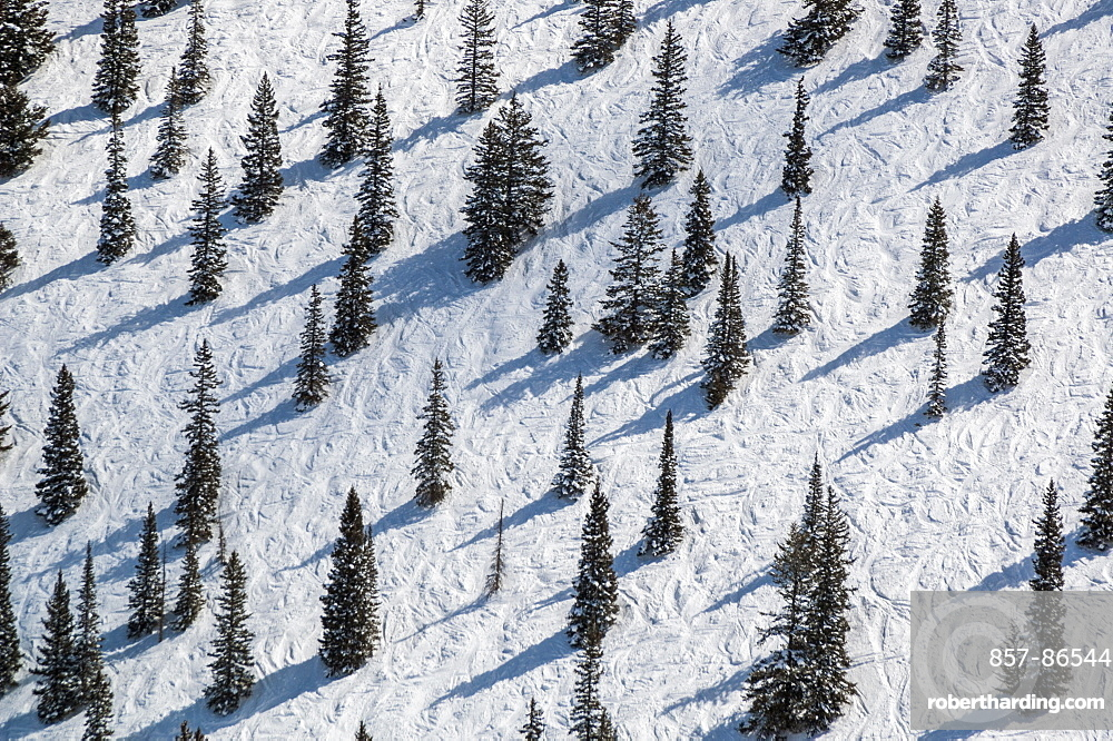 Pine trees interspersed on bell mountain trail on Aspen Mountain in Aspen, Colorado, USA, Aspen, Colorado, USA