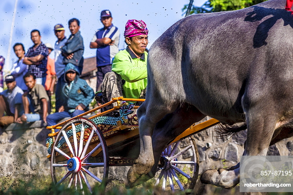 Buffalo race. Bali island. Indonesia. ?Makepung? in the Balinese language means buffalo racing. This unique spectacle is practiced by farmers from the North Western Jembrana region of Bali.
