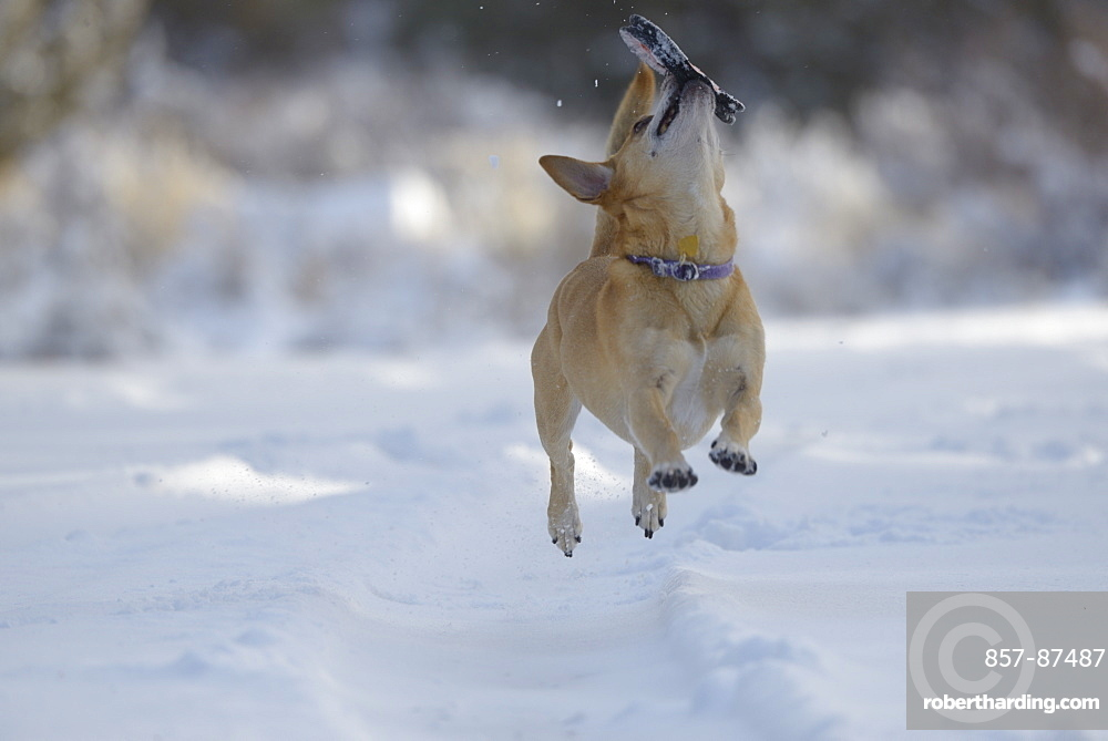 Puppy playing in the snow.