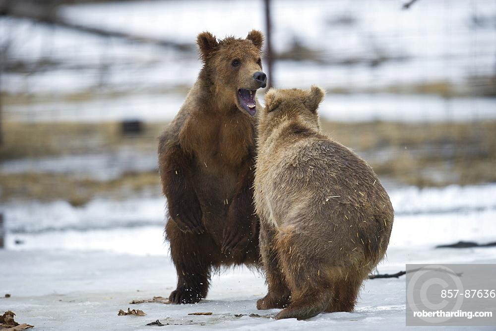 Kodiak Bear Cubs in the Alaska Wildlife Conservation Center, Girdwood, Alaska.