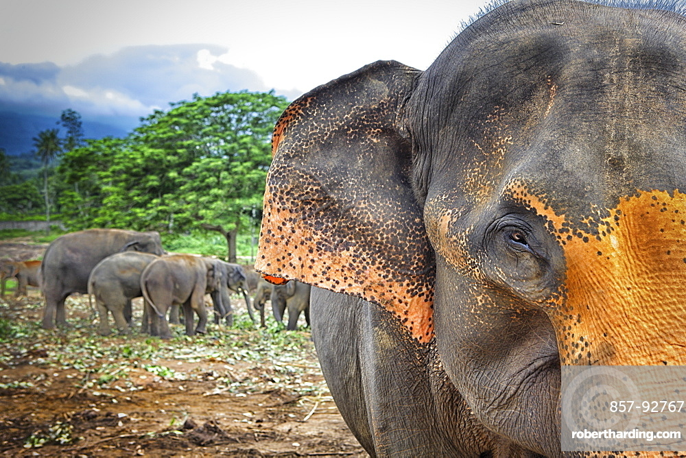 Sri Lanka - Pinnawela Elephant Orphanage for wild Asian elephants (Sabaragamuwa Province of Sri Lanka