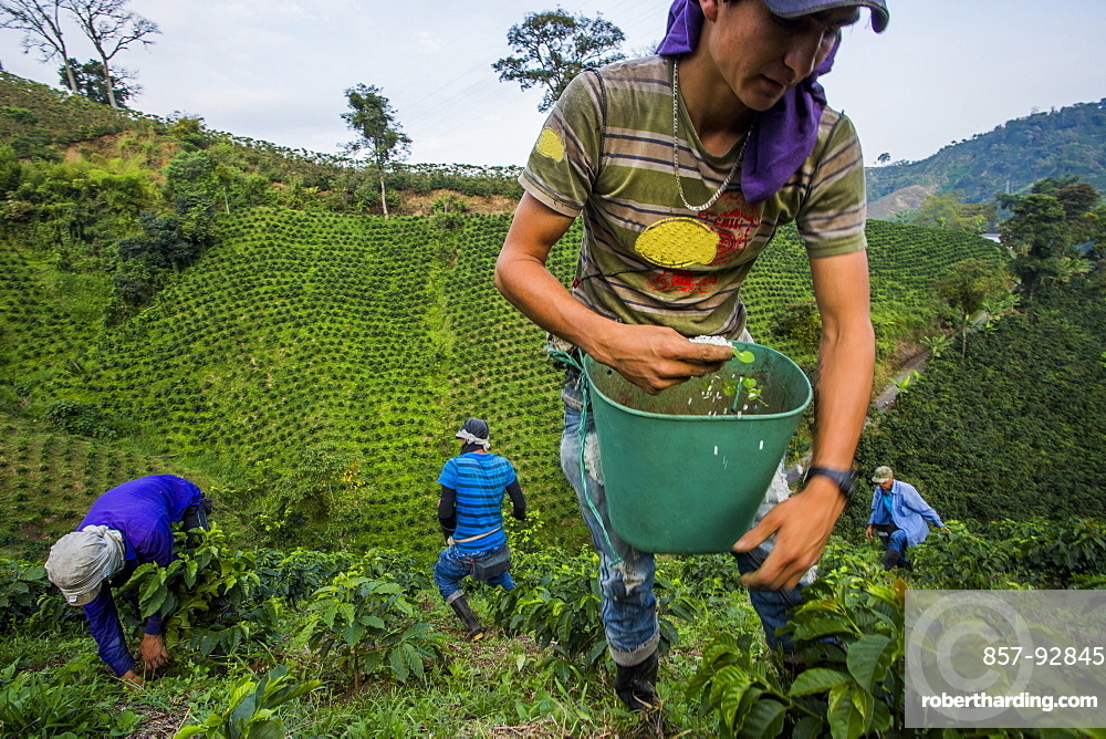 Jesus Alberto Dazza scoops fertilizer on the base of young coffee plants in the rural highlands of Colombia's coffee axis. In the background, Luis Fernandez (center), Dario Valencia (left), Jaime Arias (left)
