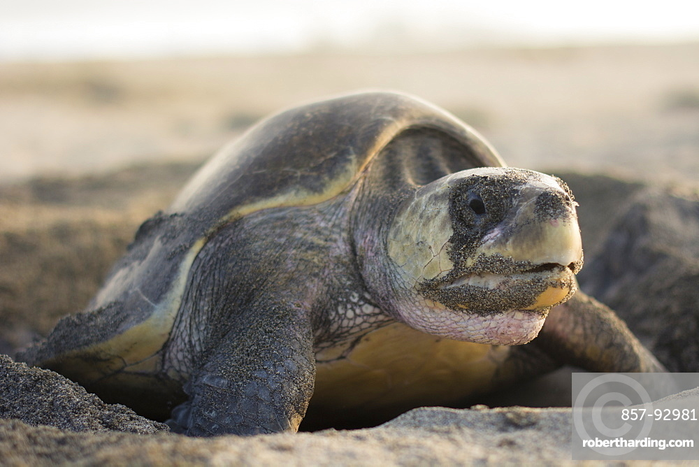 An Olive Ridley Sea Turtle lays its eggs in the hole she previously dug out, in Oaxaca, Mexico.