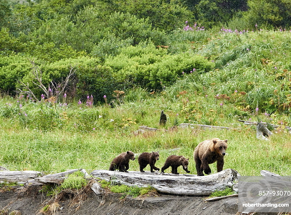 After nursing her cubs, a mama brown bear leads them to a fishing spot