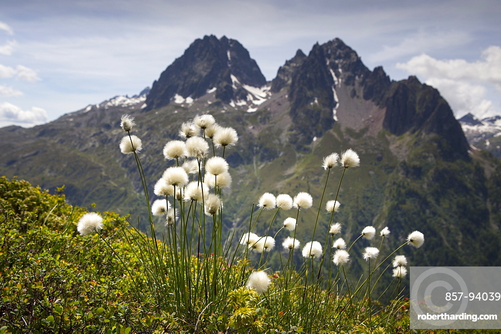 Alpine Cotton Flowers In The Chamonix Valley On Tour Du Mont Blanc