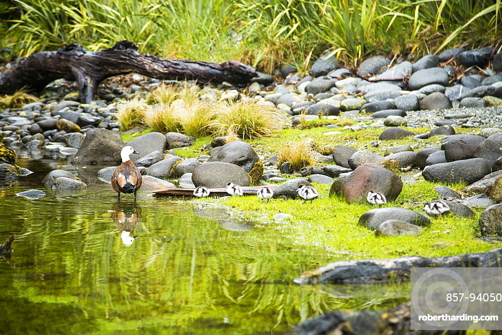 A Paradise Shelduck And Its Ducklings Move Along The Banks Of Milford Sound