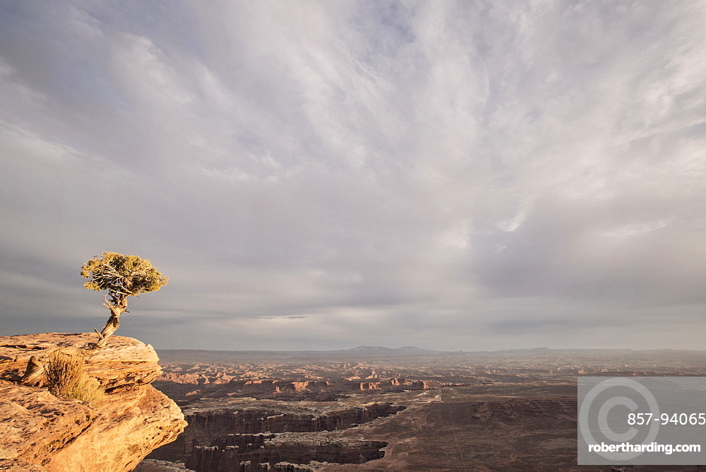 A Tree On Cliff At Sunset, Canyonlands National Park, Utah