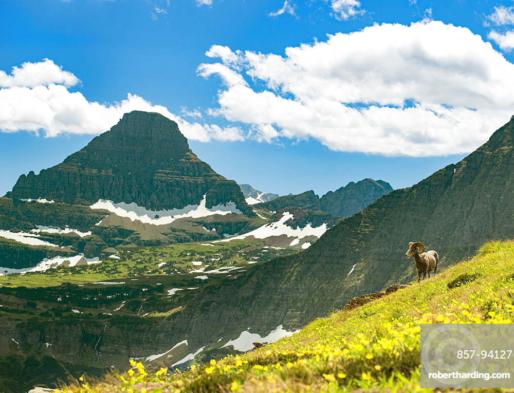 A Big Horned Sheep Grazing Along The Highline Trail In Glacier National Park, Montana, Usa