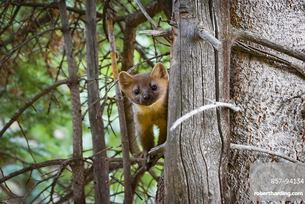 Pine Marten On The Branch Of A Tree Chicago Basin