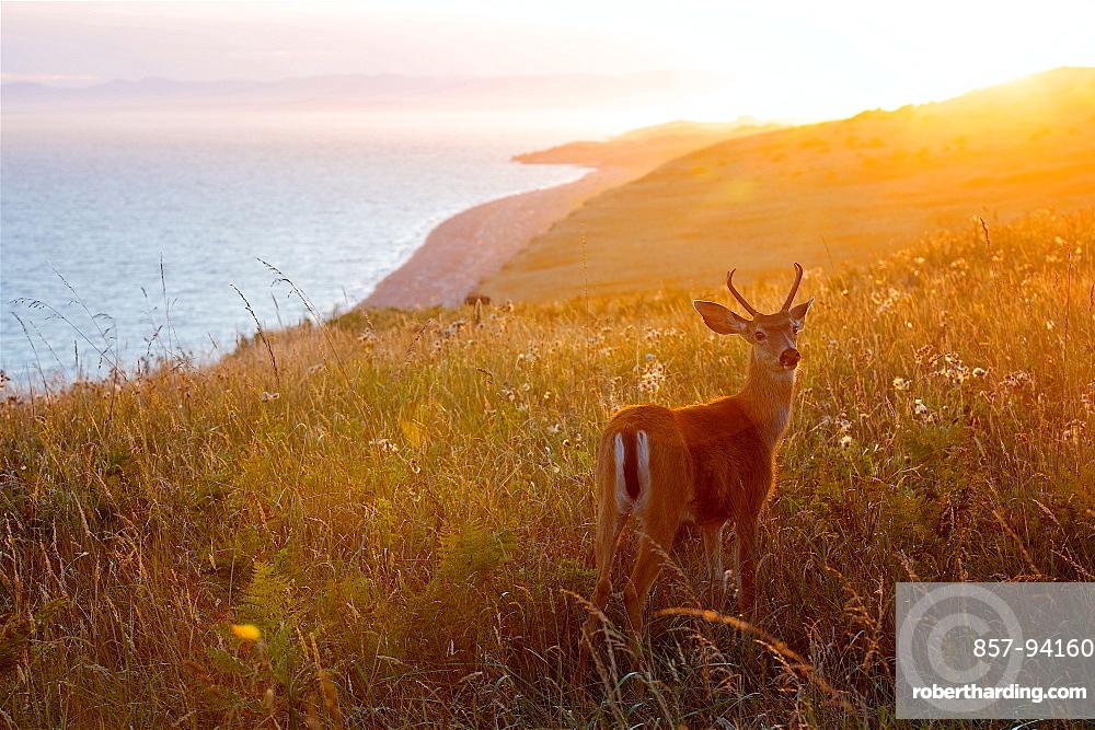 Magical Sunset At San Juan Island And A Wonderful Baby Deer