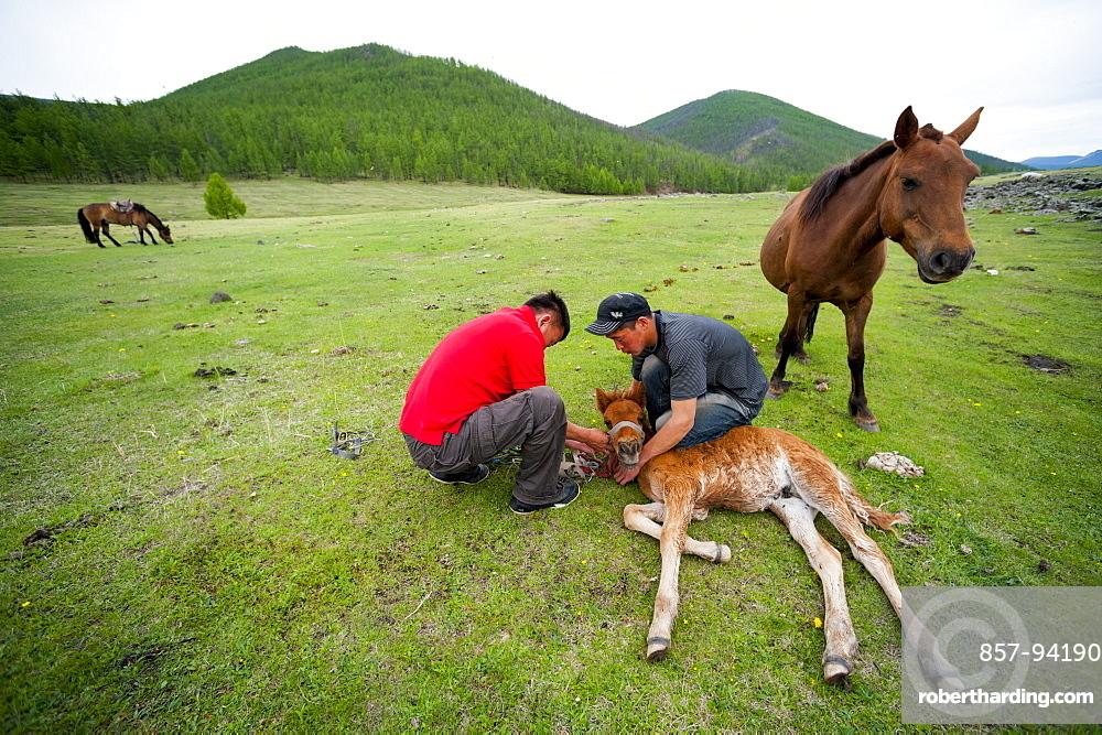 June 13, 2011 / Mongolia / Gou Barih day. Horses.
