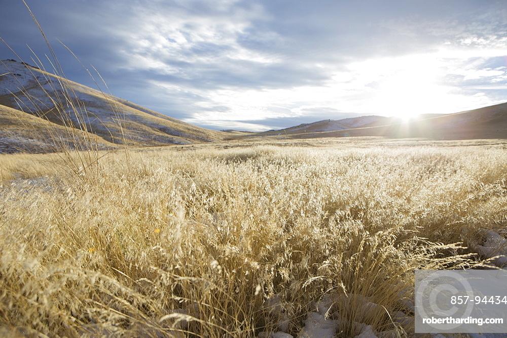 Gold fields of grass in the Nevada desert.