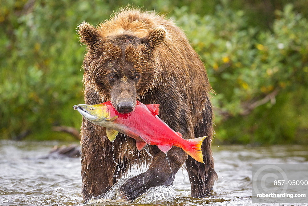 Front view of Alaska Peninsula brown bear (Ursus arctos horribilis) with freshly caught sockeye salmon (Oncorhynchus nerka), Katmai National Park and Preserve, Alaska, USA