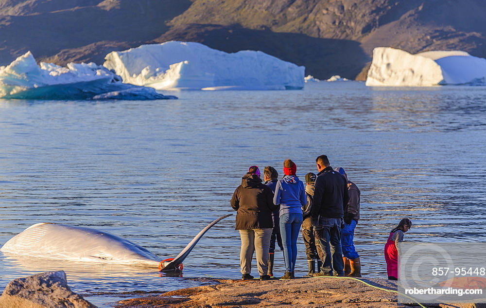Professional hunters having killed a whale for the local market of Greenland. Quotas are in application and these hunts are regulated by the government