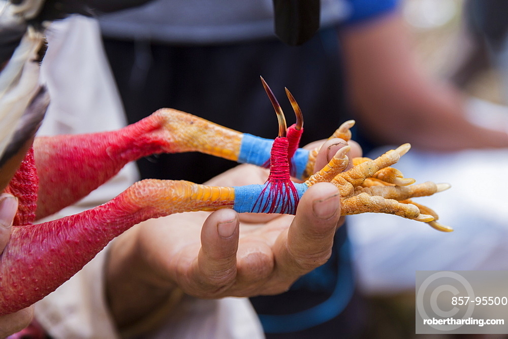 Close up shot of talon getting attached to cock before cockfight, Vinales, Pinar del Rio Province, Cuba