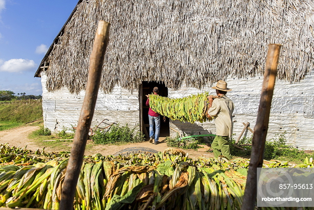 Two men carrying tobacco leaves in plantation, Vinales, Pinar del Rio Province, Cuba