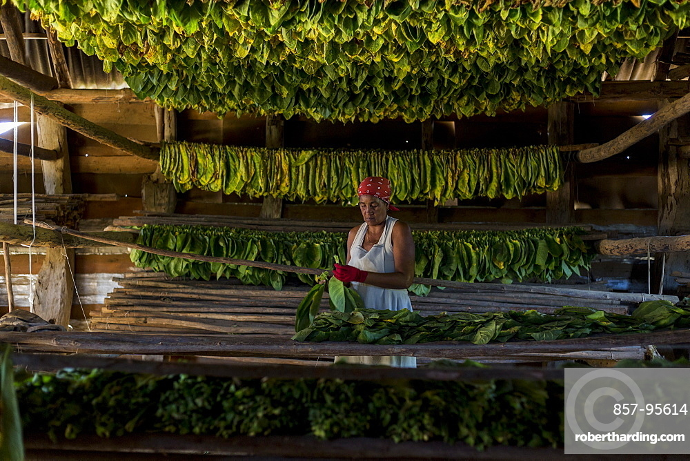 Mature woman wearing headscarf threading and drying tobacco leaves, Vinales, Pinar del Rio Province, Cuba