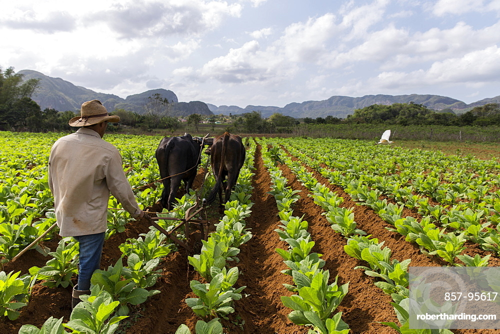 Farmer using cattle to plow vast tobacco field, Vinales, Pinar del Rio Province, Cuba