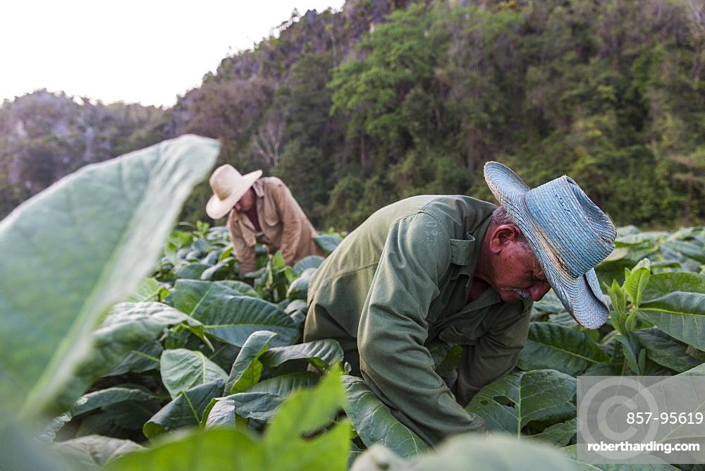 Two men harvesting tobacco leaves in plantation, Vinales, Pinar del Rio Province, Cuba