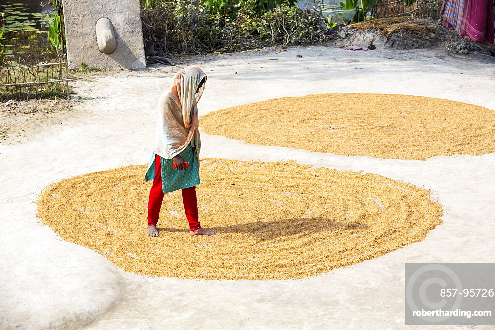 A woman drying her rice crop in the Sunderbans, Ganges, Delta, India, the area is very low lying and vulnerable to sea level rise.