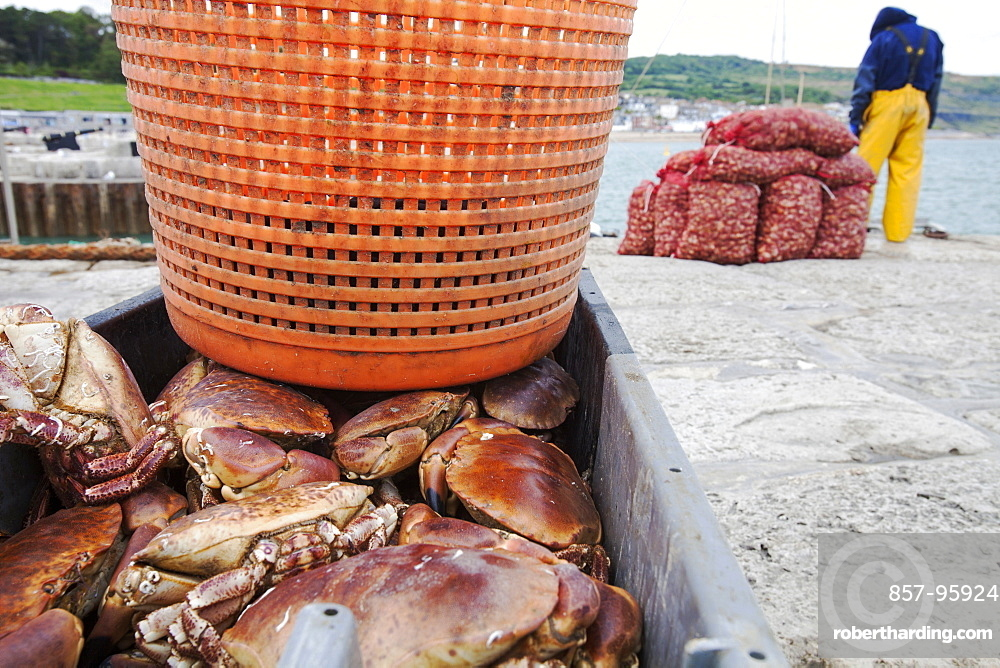 A fisherman landing whelks destined for the Asian market, as well as crabs and lobster on the Cob at Lyme Regis, part of the World Heritage site of the Jurassic Coast, Dorset, UK.