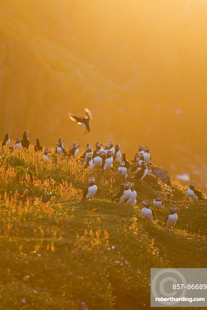 Atlantic puffin - Fratercula arctica - Colony of Puffins,Skokholm island in late evening sunlight. June, Skokhom Island, Pembrokshire, Wales