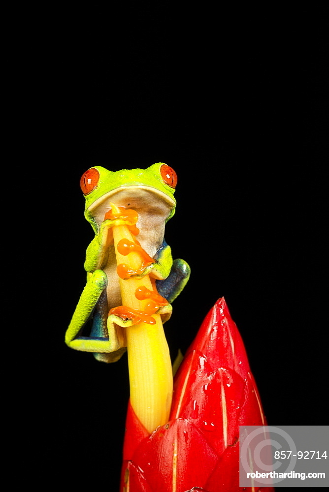 Tropical Red-eyed Tree Frog (Agalychnis callidryas) on Heliconia plant , Costa Rica