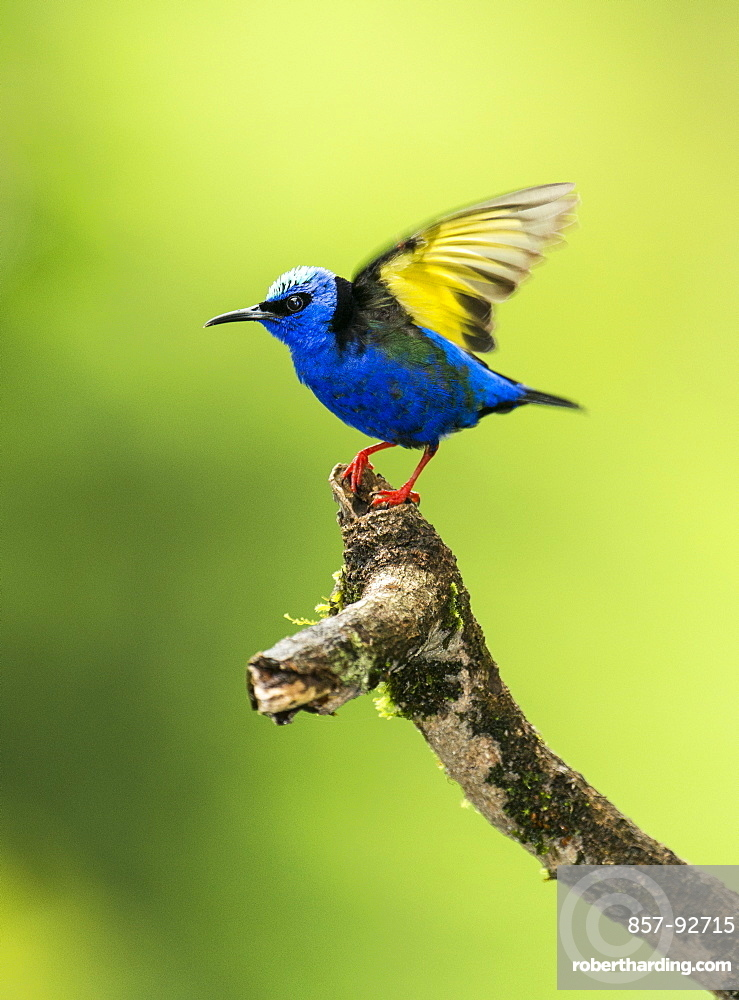 Red-legged Honeycreeper (Cyanerpes cyaneus) about to take flight, Costa Rica