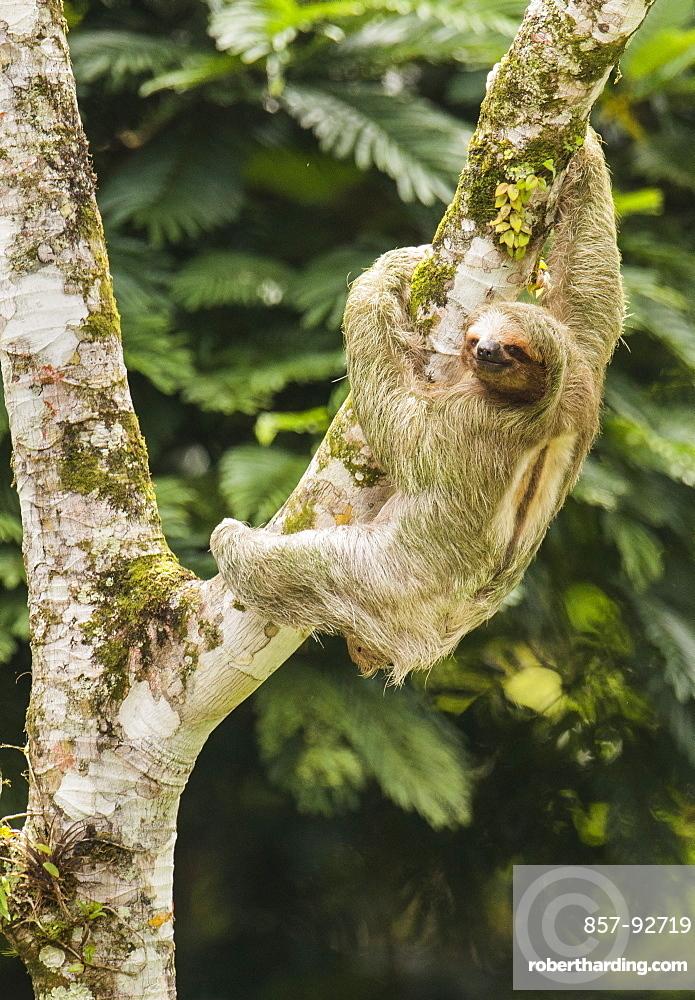 Thee-toed Sloth climbing Cecropia Tree, Costa Rica