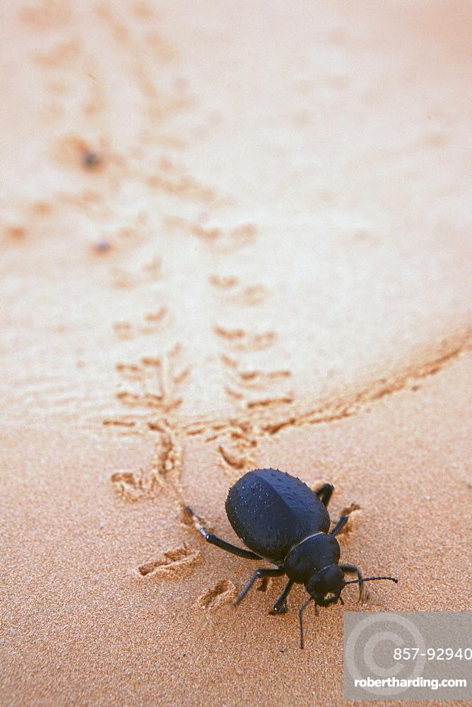 beetle walking in desert sand, Tunisia, Sahara desert