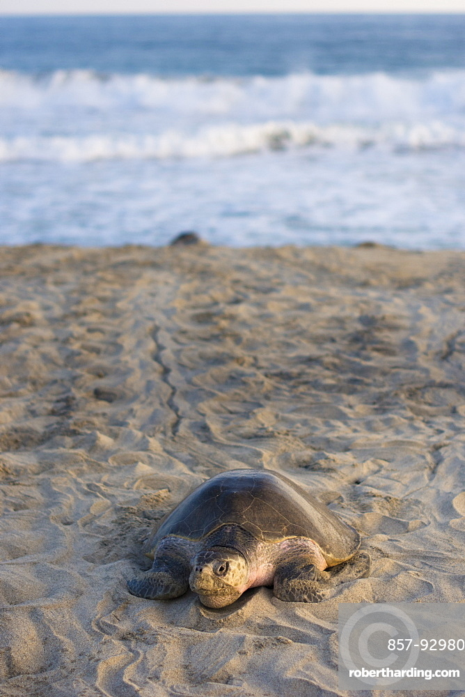 Olive Ridley Sea Turtle makes its way from the ocean onto the beach in order to lay its eggs in Oaxaca, Mexico.
