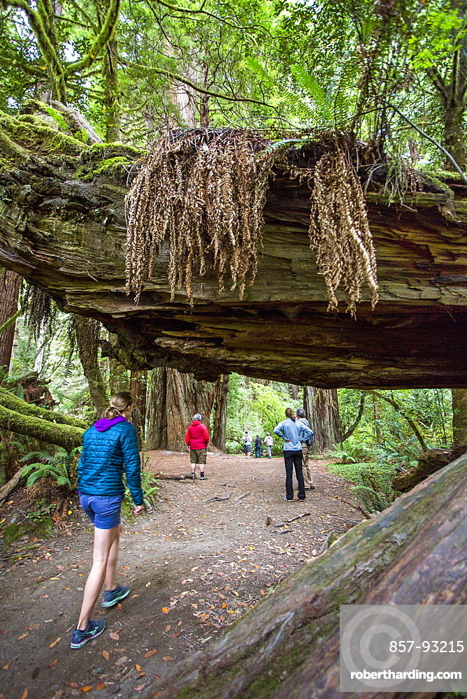 A Family Hikes Beneath Fallen Logs In Redwood National Park, California, Usa