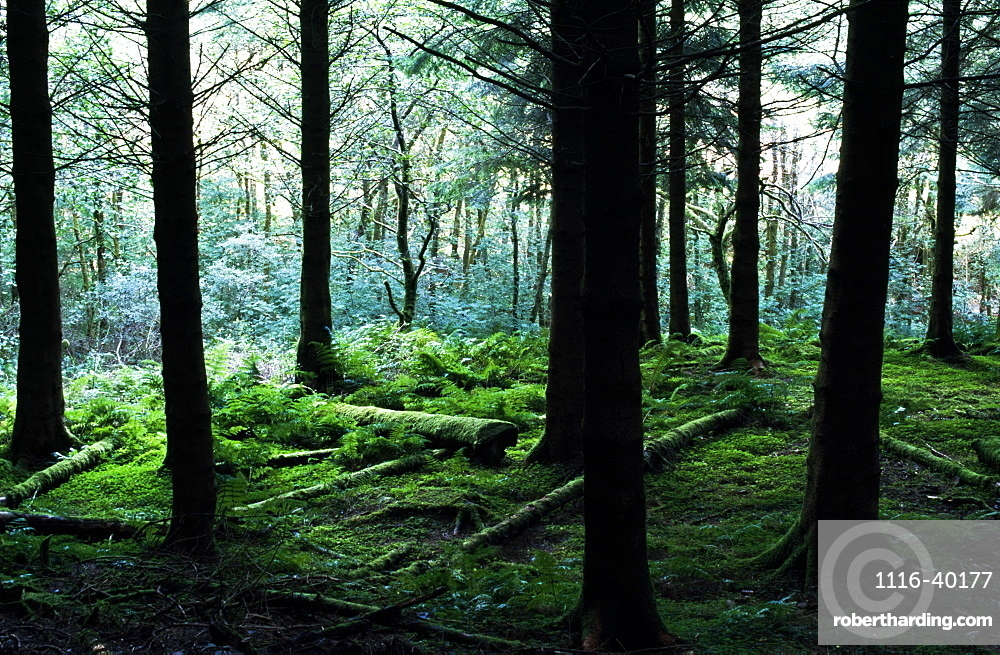 A Forest In Highlands, Scotland