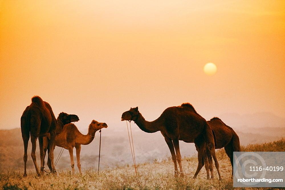 Camels At The Pushkar Camel Fair, India