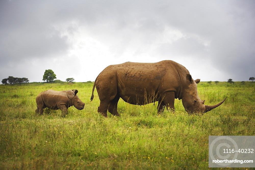 Rhinoceroses, Africa