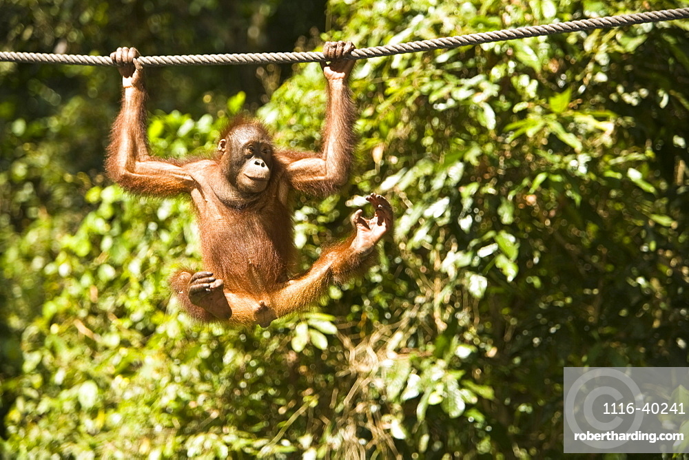 Juvenile Oranguatan Hanging On A Rope
