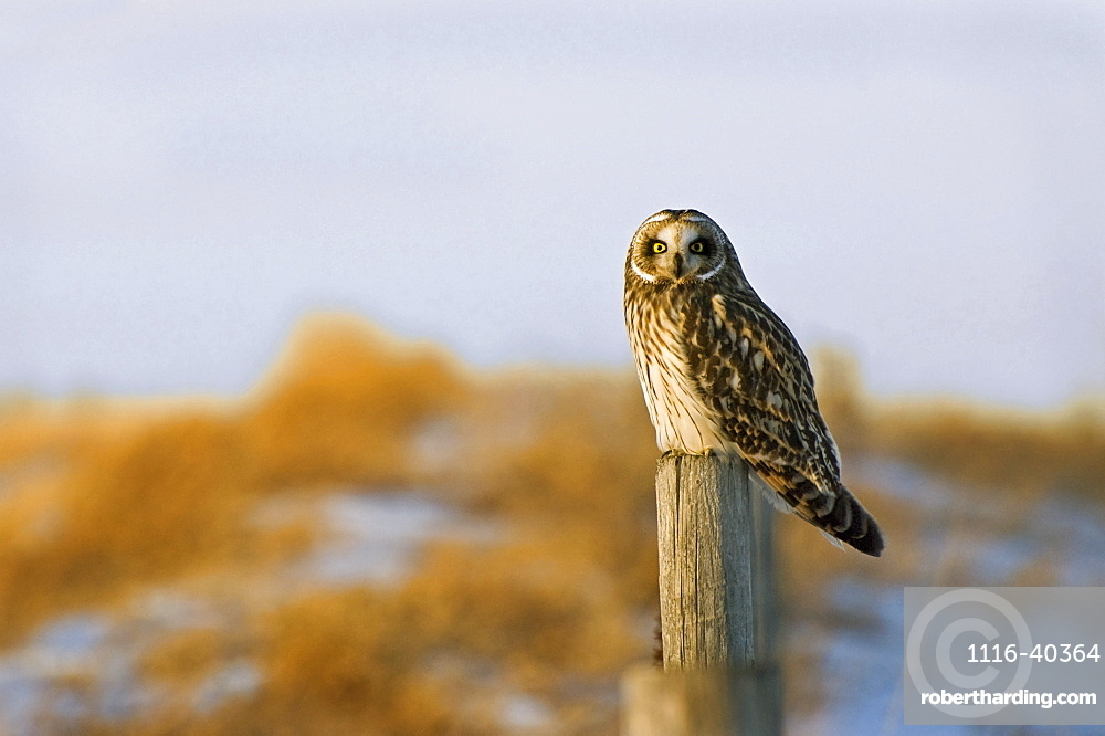 Short-Eared Owl, Alberta, Canada