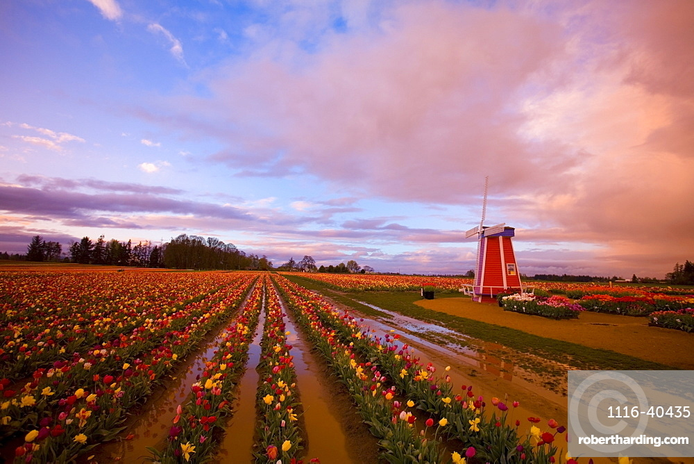Tulip Farm, Oregon, United States Of America