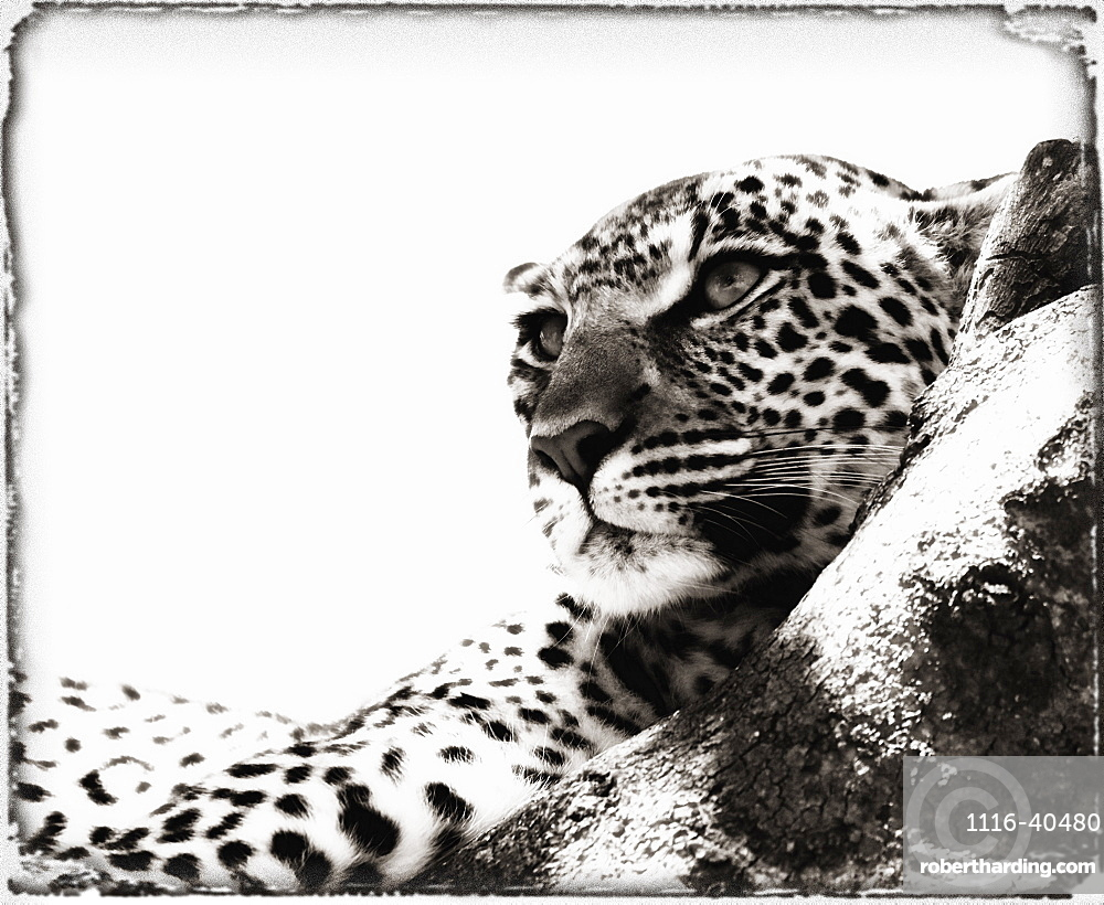Portrait Of An African Leopard, Botswana, Africa
