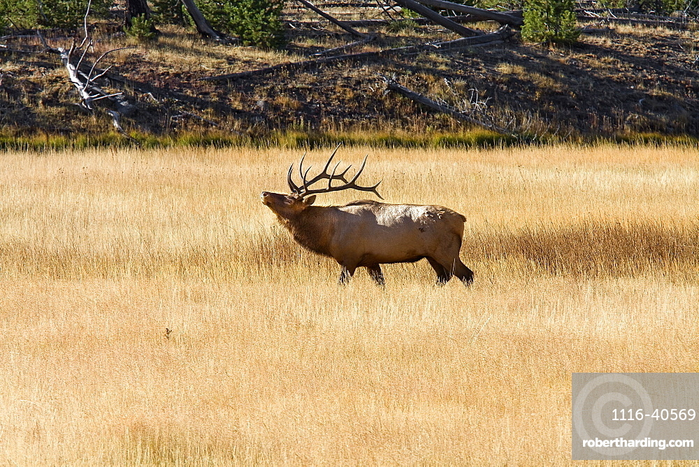 Bull Elk, Yellowstone National Park, Near Madison River, Montana, Usa