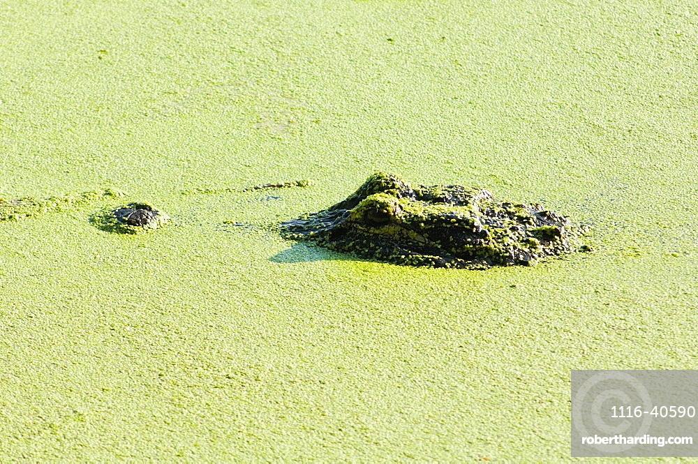 Alligator, Wacodahatchee Wetlands, Florida, Usa